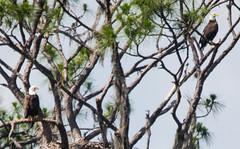 Bald Eagle Nest (ap0013) Tags: baldeagle nest eagles circleb barreserve lakeland florida lakelandflorida fl fla wildlife nature