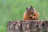 Nuts (beverleythain) Tags: native scottish red squirrel tail bushy fur animal wildlife nature scotland nuts tree stump cute