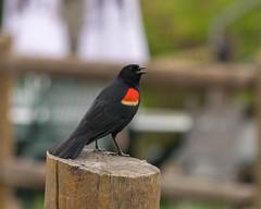 Blackbird (ken@home) Tags: red blackbird