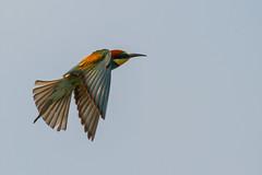 20mai18_11_prigorii prundu 11 (Valentin Groza) Tags: prigorie prigorii bee eater merops apiaster romania summer bird flight bif birdwatching outdoor