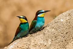 20mai18_01_prigorii prundu 01 (Valentin Groza) Tags: prigorie prigorii bee eater merops apiaster romania summer bird flight bif birdwatching outdoor