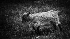 Little Prince (Constantinos_A) Tags: sony a6300 lowkey low light portrait animal goat puppy field bw black white vilia attica dusk