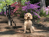 (Jean Arf) Tags: highlandpark rochester spring 2018 azalea bush tree flower blossom dog poodle dusty miniaturepoodle apricot stairs steps