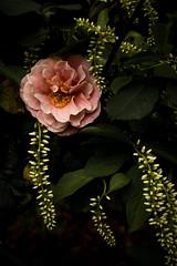 XX20180523a2425Bias-1.7 stops.jpg (rachelgreenbelt) Tags: orderrosales usa northamerica ouryard americas ordersaxifragales eudicots greenbelt midatlanticregion iteavirginicahenrysgarnet rosids familyrosaceae maryland rosadistantdrumsfloribunda familyiteaceae iteaall ghigreenbelthomesinc iteaceae iteaceaefamily magnoliophyta floweringplants saxifragales saxifragalesorder spermatophytes virginiasweetspire
