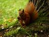 scoiattolo (claudiopoli) Tags: animalia chordata mammalia rodentia sciuridae sciurus vulgaris