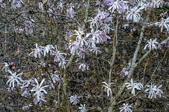 Magnolia and wall (tonybill) Tags: chippingcampden fujifilmxt2
