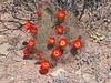 CAE012485a (jerryoldenettel) Tags: 180424 2018 beehivecactus cactaceae caryophyllales coreeudicots echinocereus echinocereuscoccineus nm quebradaroad scarletbeehivecactus socorroco wildflower cactus flower