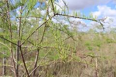 Everglades National Park, Florida (lotosleo) Tags: evergladesnationalpark florida fl nationalpark everglades nature plant marsh swamp baldcypress taxodiumdistichuml spring landscape эверглейдс флорида