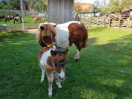 Erinas Fohlen erblickte am 24. April das Licht am Miniponyhof. Wir freuen uns mit unserer ganzen Ponyfamilie 😍🐴