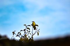 (Rodrigo Paganini) Tags: natureza nature passaro bird ceu sky azul blue animal animale nikon d3100 70300mm planta plant