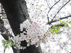 Cherry blossom 櫻花 (MelindaChan ^..^) Tags: jinhae skorea 鎮海 cherry petal korean bloom blossom tree plant 櫻花 櫻 花 chanmelmel mel melinda melindachan spring travel