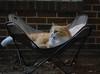 Jimmy (rootcrop54) Tags: jimmy orange ginger tabby male cat lounge chair catenclosure neko macska kedi 猫 kočka kissa γάτα köttur kucing gatto 고양이 kaķis katė katt katze katzen kot кошка mačka gatos maček kitteh chat ネコ