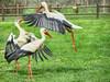 IMG_8516 stork attak (pinktigger) Tags: stork cigüeña storch cicogne ooievaar ciconiaciconia cicogna cegonha bird nature fagagna feagne friuli italy italia oasideiquadris animal outdoor