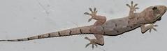 Hemidactylus mabouia - Tropical House Gecko (Moreau  De Jonnès, 1818) (A Sprinkle of Earth) Tags: tropicalhousegecko lizard repitilia squamata reptile reptiles réptil répteis sauria gekkota gekkonidae gekkoninae animalia animal animals animais lagartixa lagarto house casa lagartixadomésticatropical predator predador predadora lagartixadoméstica lagartixatropical hemidactylussp sp hemidactylus hemidactylusmabouia wild wildlife selvagem fauna biology biologia herpetology herpetologia nature natureza natural naturaleza naturalism naturalismo photonaturalism fotonaturalismo marrom brown black preto yellow amarelo white branco brasil brazil fortaleza ceará ceara américadosul southamerica oscarneto asprinkleofearth spiritofphotography gecko housegecko afroamericangecko afroamericanhousegecko cosmopolitanhousegecko macro hd hdr night noite hunter