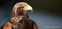 @ FESTA DELL'UNICORNO (fabiogis50) Tags: falco hawk falcon bird nature