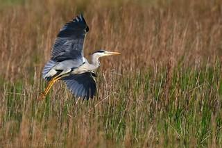 Grey Heron 104272