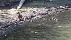 Balade sur le lac :-) (jean-daniel david) Tags: vidéo lac lacdeneuchâtel réservenaturelle canard colvert famille petit caneton eau yverdonlesbains reflet nature volatile