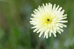 fleur (Patatitphoto) Tags: lauragais flore