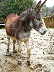 All ears....👂 (carlesbaeza) Tags: donkey mud muddy animals ear nature ngc