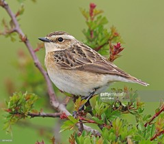 Whinchat female (Gary Chalker, Thanks for over 3,000,000. views) Tags: whinchat bird pentax pentaxk3ii k3ii pentaxfa600mmf4edif fa600mmf4edif fa600mm 600mm