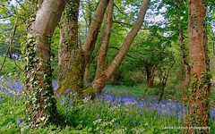 woodland (patrickcolhoun) Tags: woods spring bluebells flowers nature landscape buncrana donegal ireland inishowen ulster countydonegal scenery trees