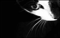 Ivanhoe (Bob R.L. Evans) Tags: littledoglaughednoiret blackandwhite graytones highcontrast cateye catwhiskers unusual composition blackspace