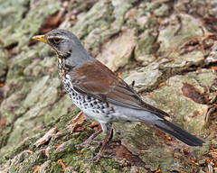 Fieldfare (Treflyn) Tags: fieldfare search worm kungsparken gothenburg sweden goteborg
