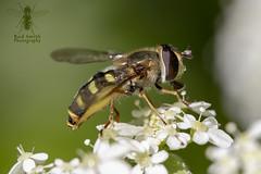 ♀ Eupeodes luniger (roderick smith) Tags: eupeodesluniger hoverfly totonsidings nottinghamshire canon eos80d ef100mmf28lmacro macro