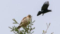 Red-shouldered Hawk-Kingston-5-16-18-6 (McDonaldMorgans) Tags: birding redshoulderedhawk greenheron greateryellowlegs brantrock kingston