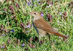 JWL7943  Nightingale.. (jefflack Wildlife&Nature) Tags: nightingale birds animal animals summermigrant songbirds countryside copse heathland hedgerows moorland meadows avian wildlife wildbirds woodlands nature