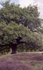 oak & heath (Jos Mecklenfeld) Tags: minoltax700 minolta x700 minoltamd50mmf20 minoltamd50mmf2 minoltamd50mm minoltamd agfavista agfavista200 agfavistaplus agfa epsonv500 nature natur natuur borkenerparadies versen meppen emsland niedersachsen germany deutschland duitsland heath heide oak eiche eik ishootfilm film analog analogue 35mm