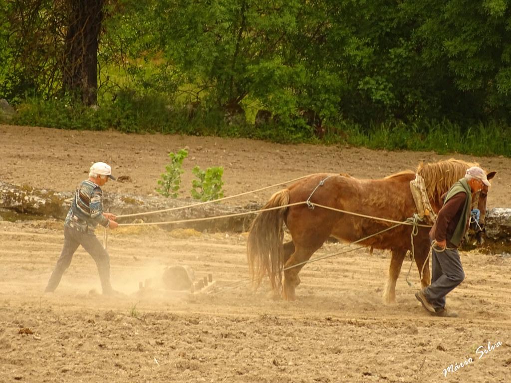 Águas Frias (Chaves) - ... arando com a força do cavalo ...