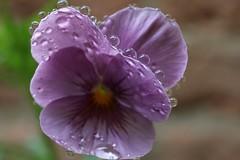 Violet (RW-V) Tags: canoneos70d canonefs35mmf28macroisstm violets violet viooltje viola violaceae colour couleur athome homegarden athomegarden macro sooc 100faves 150faves 175faves 200faves 225faves 250faves 275faves 300faves 325faves 350faves 2500views 375faves 400faves 425faves 450faves 5000views 475faves 500faves 525faves 7500views 550faves