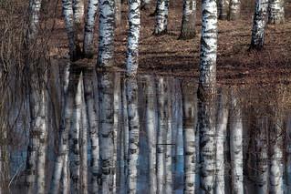 birch canvas