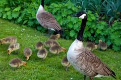 Dulwich Park Locals (Adam Swaine) Tags: birds rspb wildlife nature bird dulwich england brittish spring uk canon beautiful london goslings britain seasons