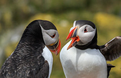 No. 1 - A good telling off (Andy Wakefield Photography) Tags: farneislands northumberland puffin argument