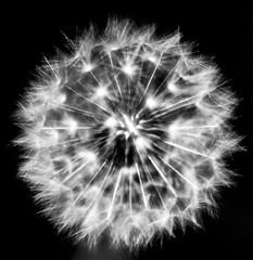 Dandelion 1 (judy dean) Tags: garden judydean spring velvet56 flowers 2018 lensbaby dandelion clock seeds