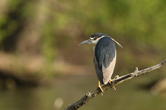 Black-Crowned Night Heron (Tyler C. Grudowski Photography) Tags: bird birds animal animals wildlife nature heron