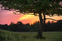 The Sunset Tree (redfurwolf) Tags: sunset sunsetlight tree grass forest sky epic landscape outdoor nature redfurwolf sonyalpha a7riii sony hiking