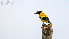 Black-hooded Oriole (darkskg) Tags: birdwatching birdphotography bird blackhoodedoriole nikond3400 nikongear iamnikon