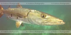 Barracuda (ficktionphotography) Tags: barracuda belize scuba diving scubadiving fish closeup ocean aquatic wildanimals