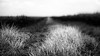 A Long Row of Maize (Anne Worner) Tags: anneworner blackandwhite em5 lensbaby olympus silverefex bw composerpro corn crops f20 grass manualfocuslens manualfocus mono road shallowdof twist60 selectivefocus perspective vanishingpoint
