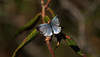may21 2018 6 (Delena Jane) Tags: delenajane dfo butterfly blue macro newfoundland ngc insect canada closeup pentaxart