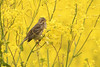 Yellow. (stonefaction) Tags: corn bunting kilminning fife crail scotland birds nature wildlife