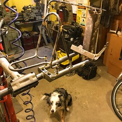 Missing my photo bombing pup. This was the last photo of Polly in the shop this past Thursday. The shop is a lot quieter since her passing. I'm told it gets easier.  #shopdog #restinpeace #tinybordercollie (Chapman Cycles) Tags: shopdog restinpeace tinybordercollie