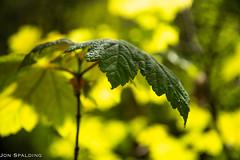 Maple Leaf (jon_spalding) Tags: maple leaf closeup bokeh backlit