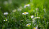 Rêve. (Canad Adry) Tags: carl zeiss contax cy planar t 50mm f14 bokeh paint flower fleur marguerite grass herbe green vert nature sony a6000 prime classic old vintage manual lens spring