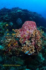Big Spongy (kayak_no1) Tags: nikon d800e nauticamhousing 15mmsigmafisheye fisheye ysd1 underwater underwaterphotography wa wideangle diving scubadiving uw moalboal philippines spongycoral