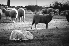 Counting sheep (loic.pettiti) Tags: programmanual lens70300mmf456gvr f56 speed1500 iso400 focallength260mm affinetuneadj1 focusmodeafc afareadynamicarea3dtracking shootingmodesingleframe 3 autoiso 9 vron meteringmodemultisegment wbauto0 picturecontrolflat focusdistance1413m dof098m13651463 hyperfocal40176m