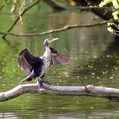 Grand Cormoran (Phil du Valois) Tags: grand cormoran oiseau faune sauvage libre wild wildlife free geresme